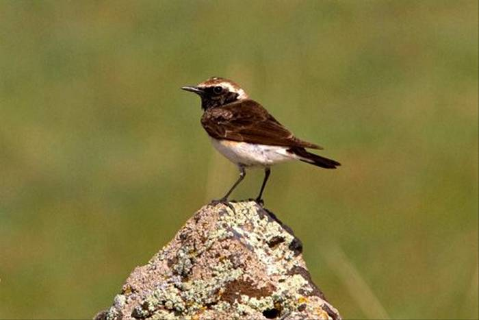 Pied Wheatear (Alan Curry)