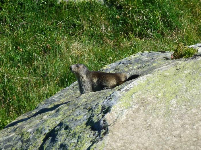 Alpine Marmot  (Kerrie Porteous)