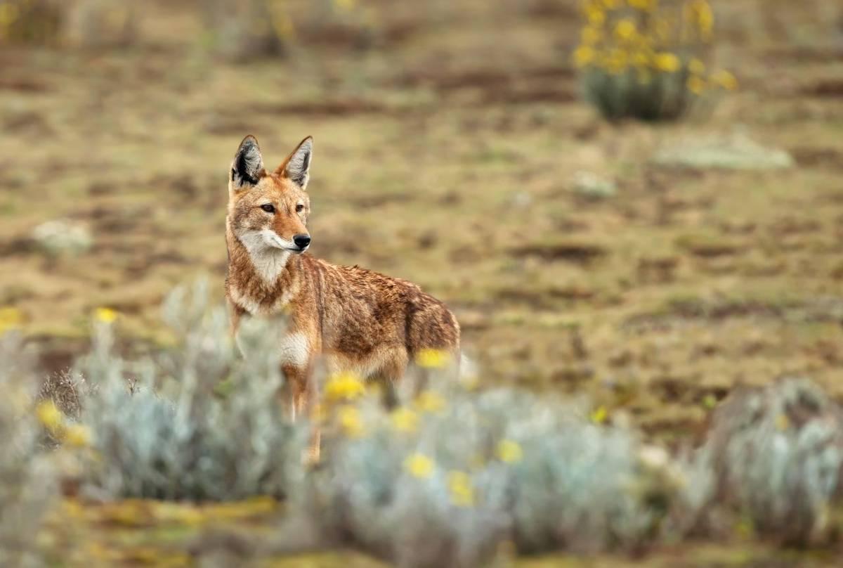 Ethiopian Wolf Shutterstock 1288648675