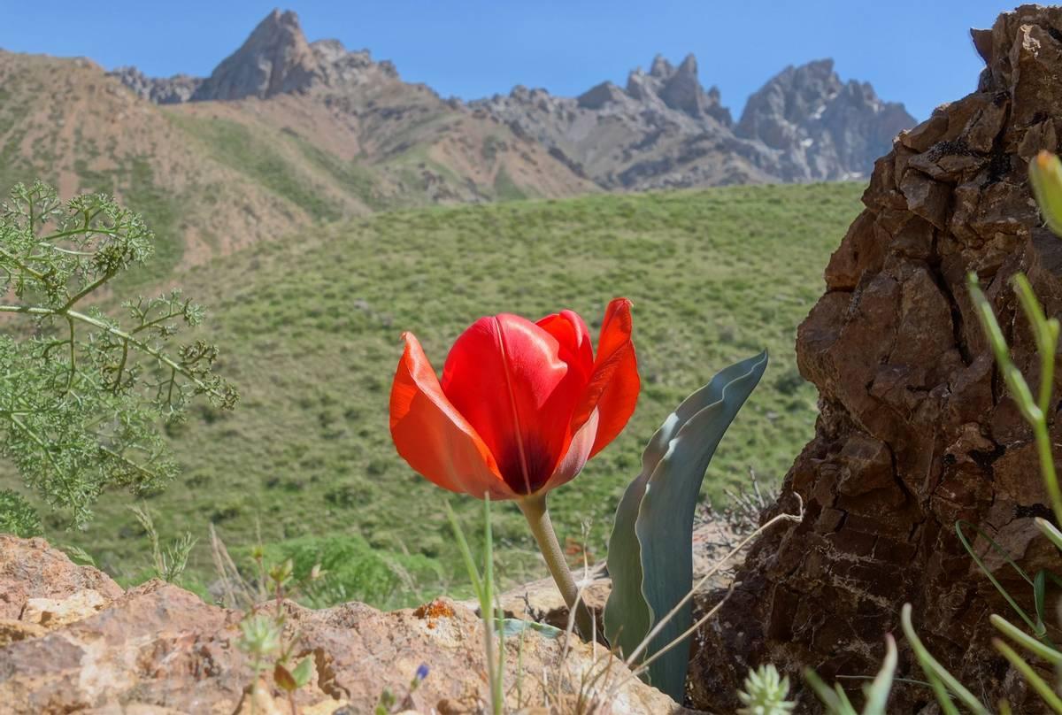 Tulipa-Greigii-shutterstock_663531400.jpg