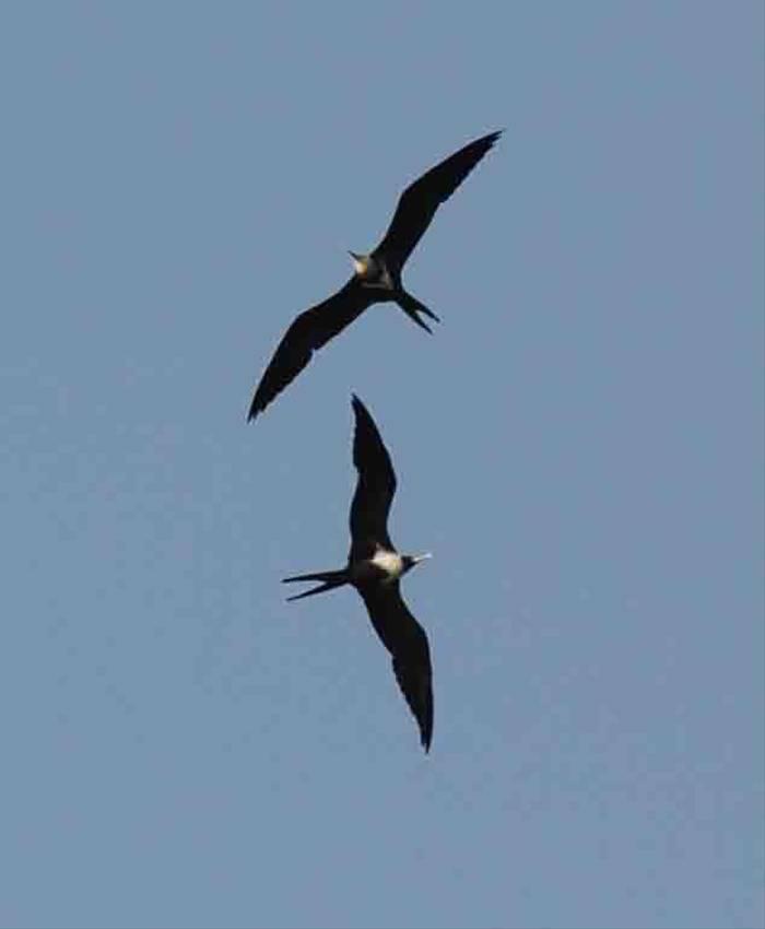 Frigatebirds (Charles Anderson)