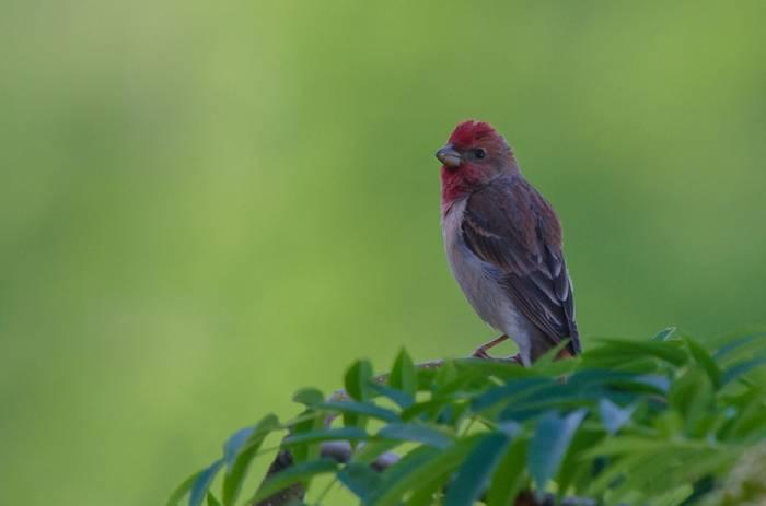 Common Rosefinch (Tim Melling)