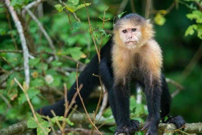 White-faced Capuchin Monkey (Ian Talboys)