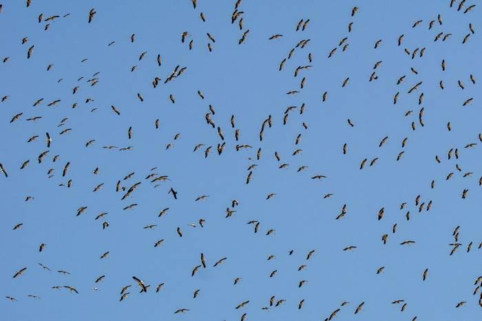 White Storks (Simon Tonkin)