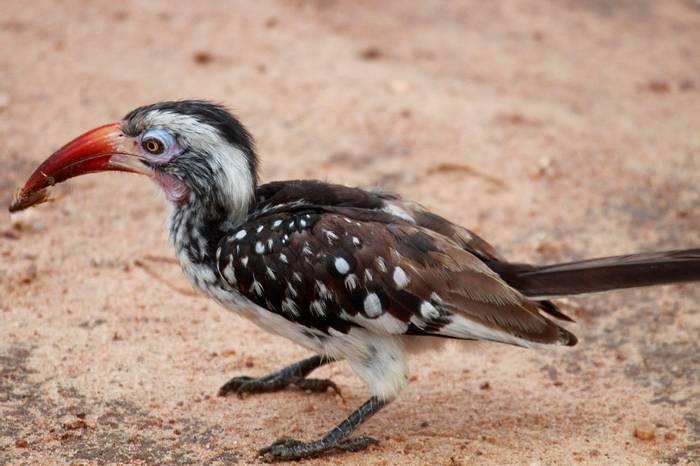 Hornbill (Nick Scarle)
