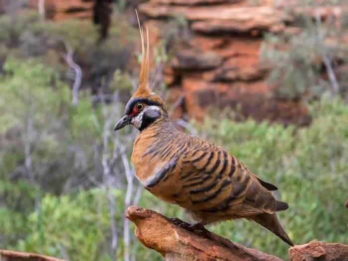 Spinifex pigeon, Australia shutterstock_240094885.jpg