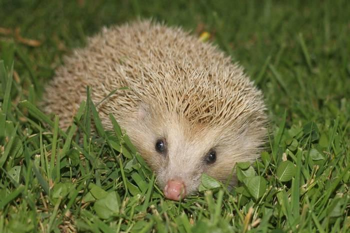 Blonde Hedgehog © Martin Batt