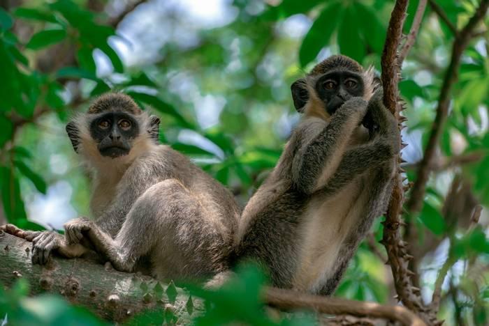 Green Vervet Monkeys, The Gambia shutterstock_1385469515.jpg