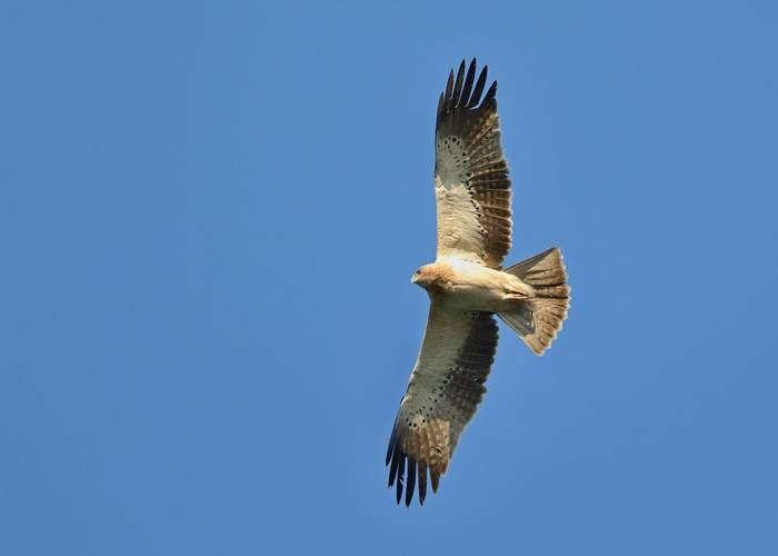 Booted Eagle Shutterstock 1123867133