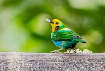 Multicoloured Tanager  HR