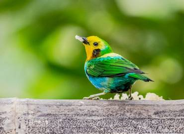Colombia - Multicoloured Tanager Tour