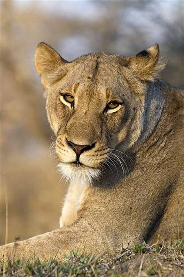 Lioness (Leon Marais)