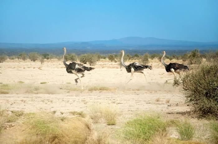 Ostrich, Ethiopia shutterstock_1165403878.jpg