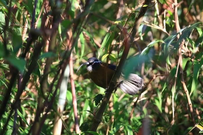 Slender-billed Scimitar Babbler (Sujan Chatterjee)