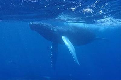 Humpback Whale by Tarmo Haehnsen