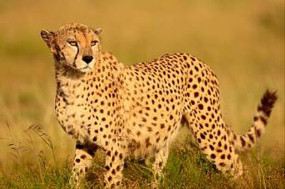 Cheetah by Bret Charman