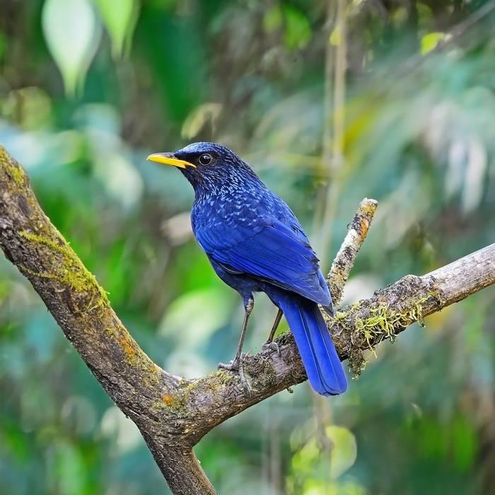 Blue Whistling Thrush. Shutterstock 183163667