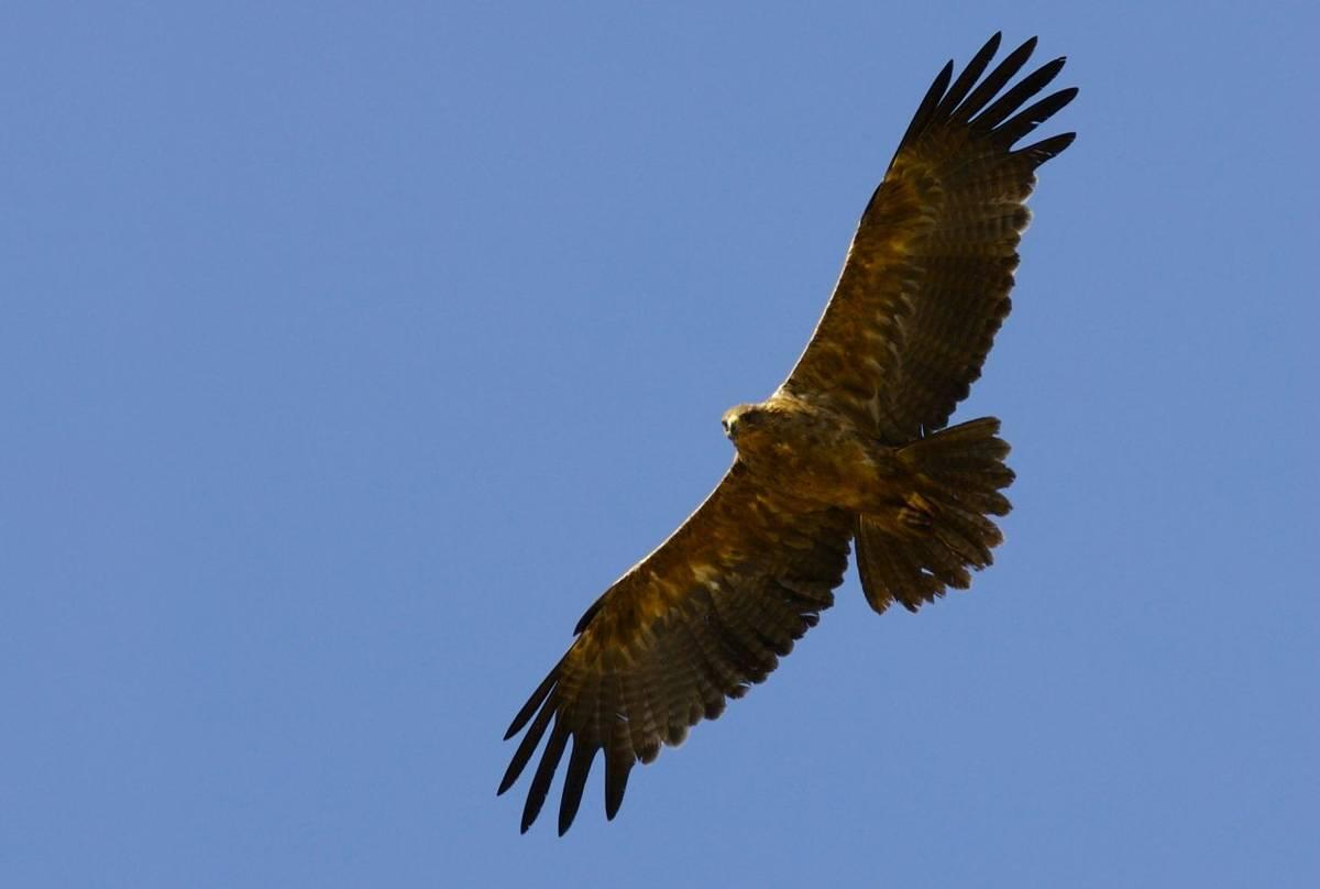 Golden Eagle 2 Shutterstock 7651954
