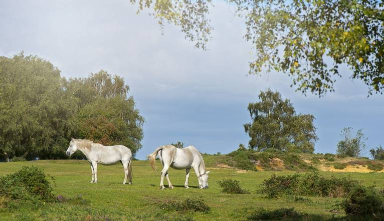 The New Forest pony is one of the recognised mountain and moorland or native pony breeds of the British Isles. Height varies…