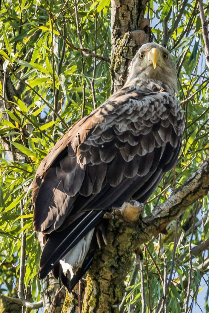 Eastern Imperial Eagle (Judith Rolfe)