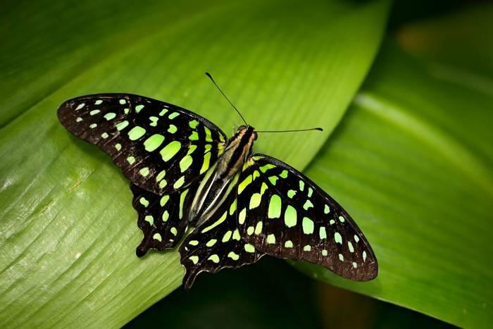Tailed Jay butterfly, Sri Lanka shutterstock_1103237747.jpg