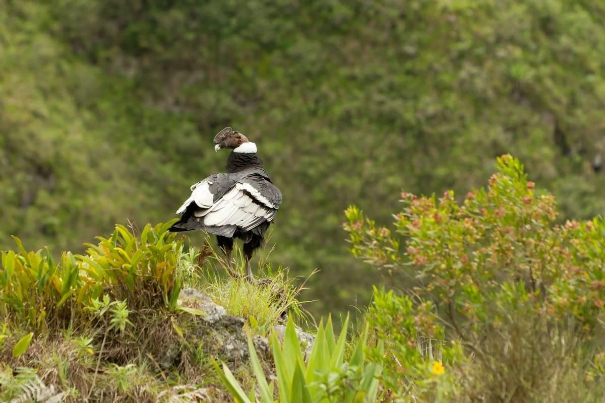 Andean Condor.
