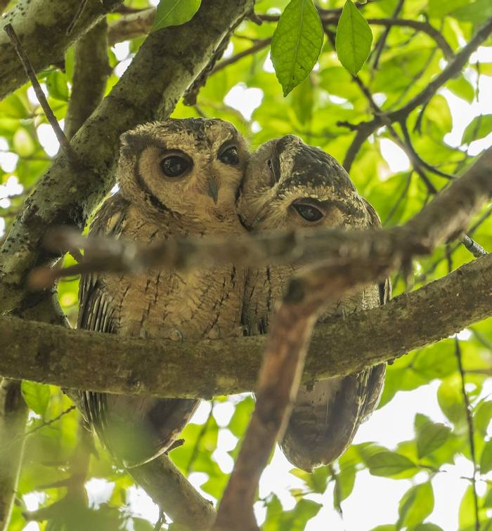 Indian Scops Owls (John Archer Thomson)
