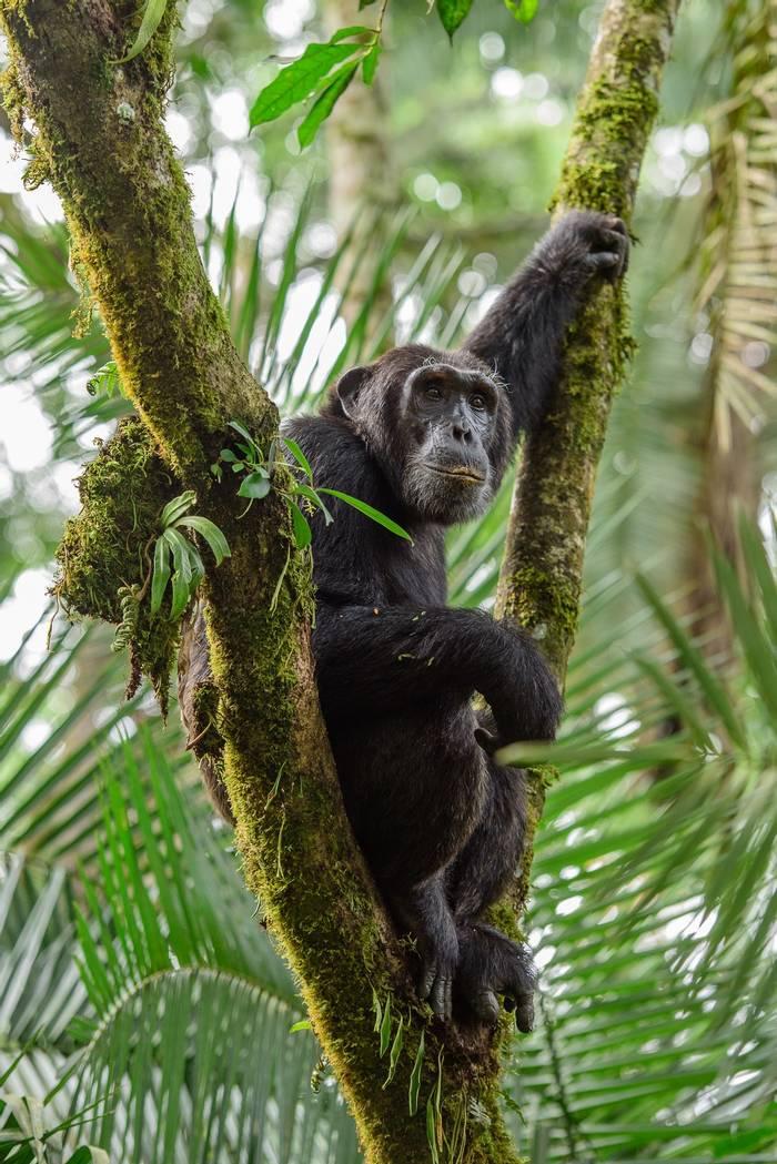 Chimpanzee shutterstock_656194582.jpg