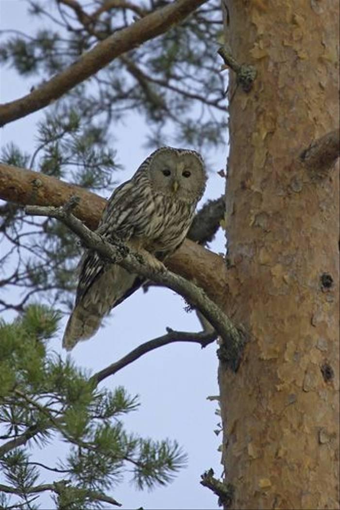 Ural Owl (Jari Peltomaki)