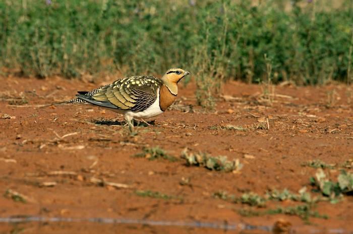 Pin-tailed Sandgrouse shutterstock_517999009.jpg