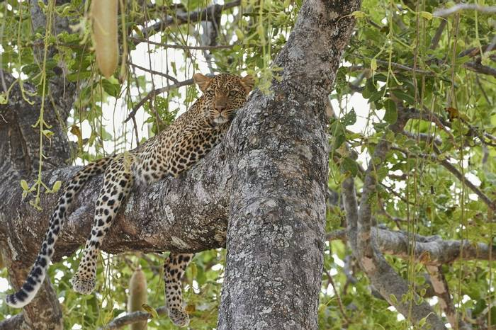Leopard (Andrew Griffin)