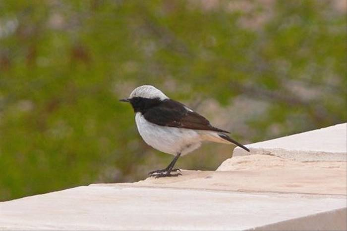 Mourning Wheatear (Tim Melling)