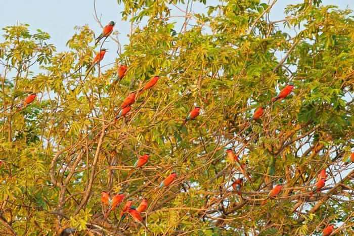 Southern Carmine Bee-eater, Zambezi River, Zimbabwe