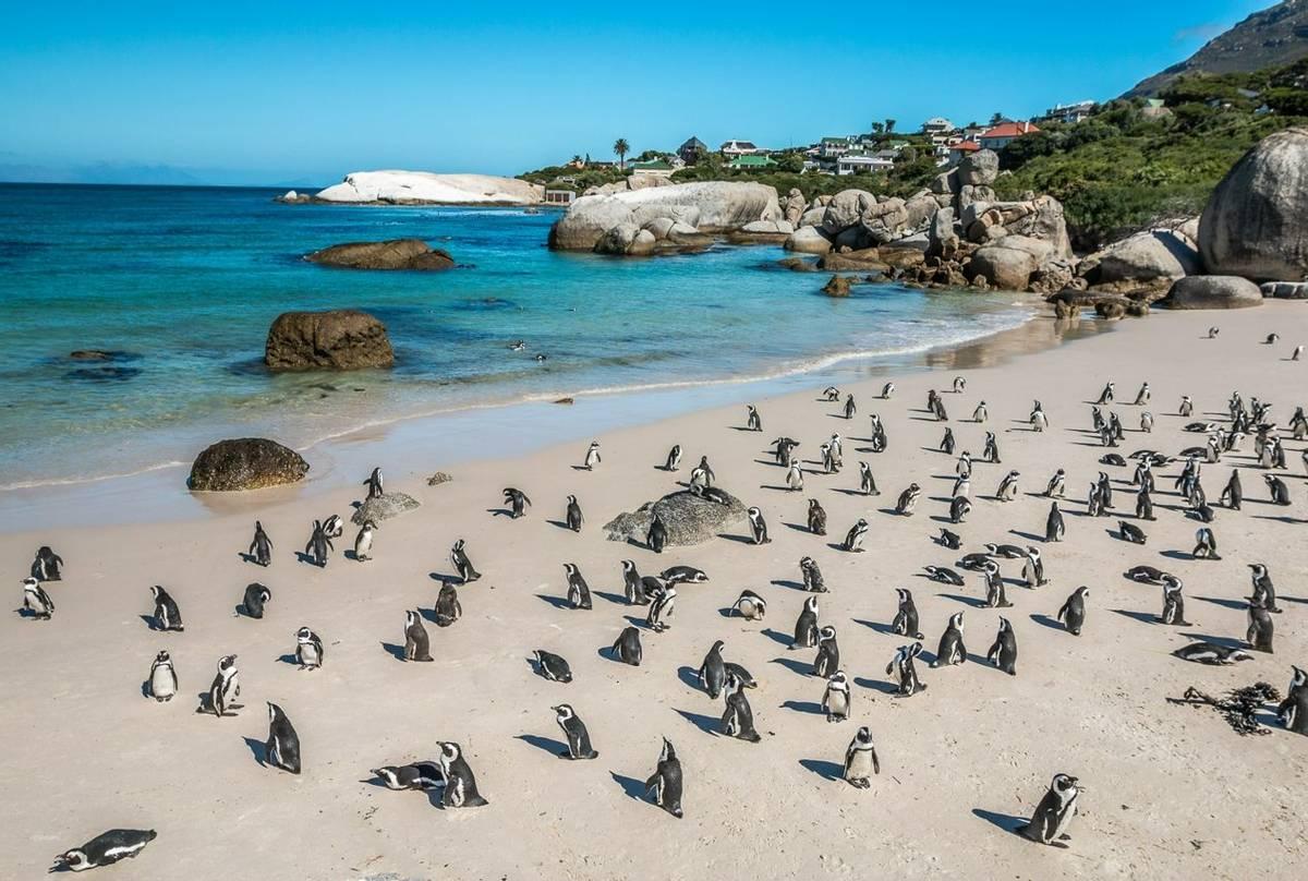 African Penguins, Boulders Beach, Cape Town, South Africa. Shutterstock 200031341