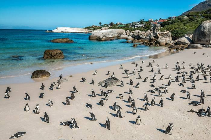 Penguin Colony   Boulders Beach, Cape Town, South Africa. Shutterstock 200031341