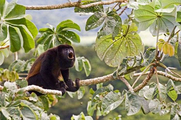 Mantled Howler Monkey (David Tipling)