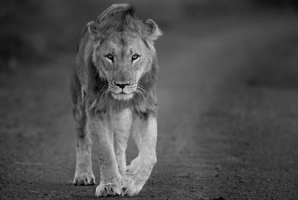 Lion (Jonathan Lewis)