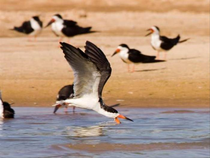 Black Skimmers (Mike Galtry)