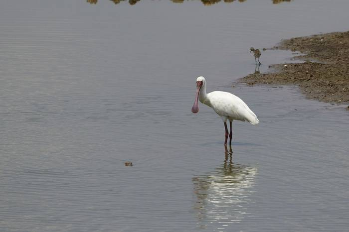 African Spoonbill (Andrew Griffin)