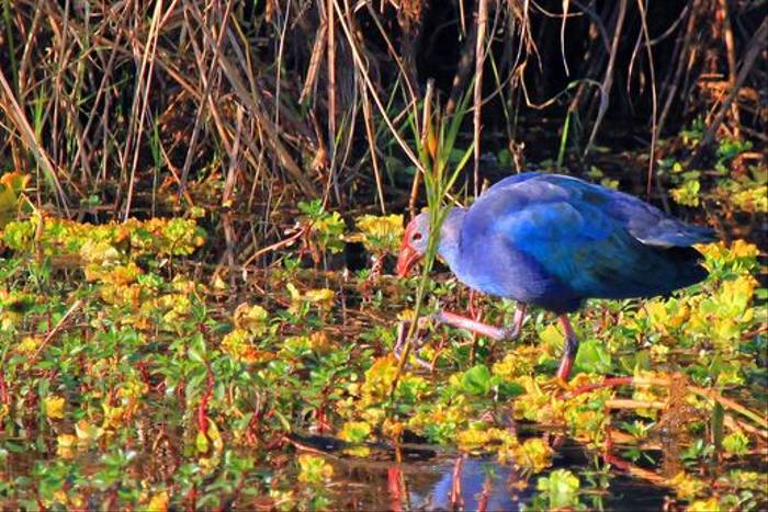 Purple Swamphen (Janice Fiske)