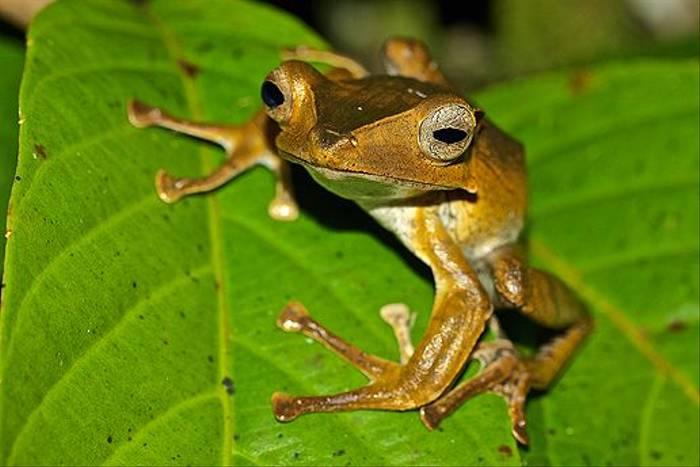 Frog sp. (Dani Free)