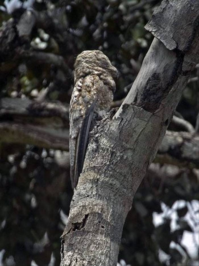 Great Potoo (Peter Price)