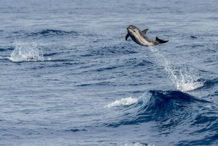 Striped Dolphin shutterstock_456694792.jpg