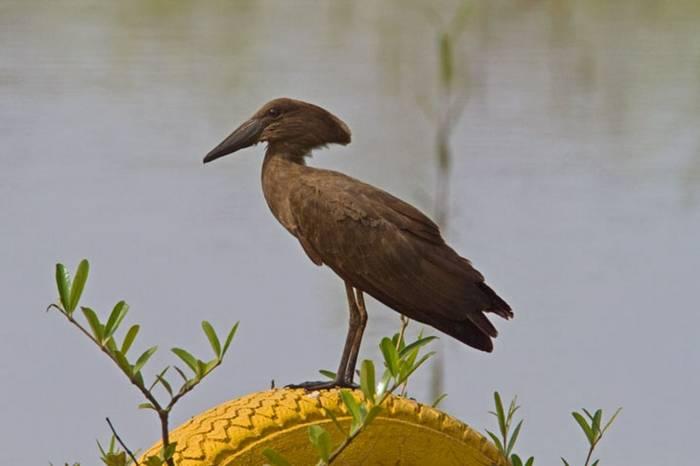 Hamerkop Gambia 11.10   1