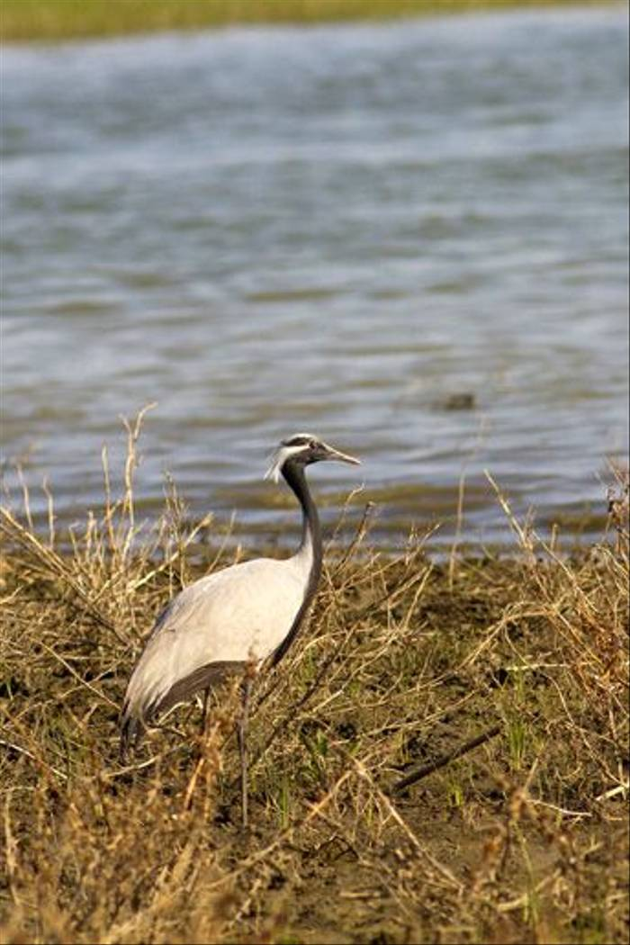 Demoiselle Crane (David Gareja)