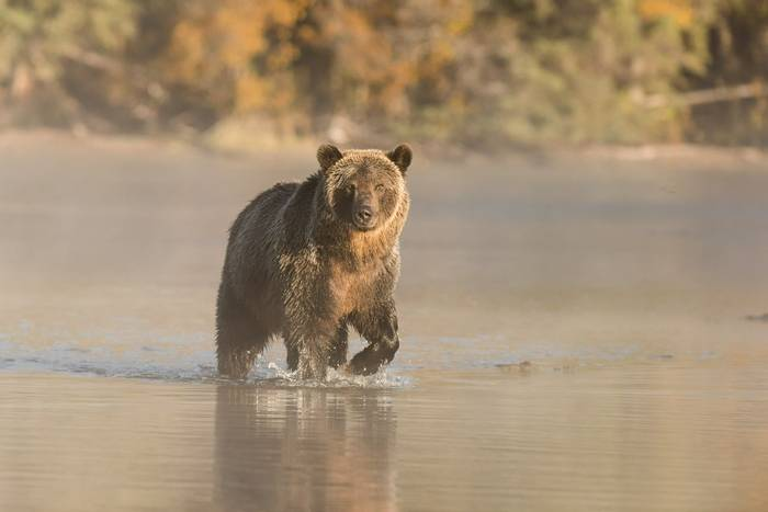 Grizzly Bear, Canada Shutterstock 732336718