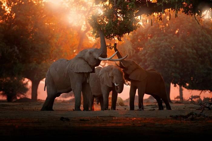 Elephants, Mana Pools NP, Zimbabwe shutterstock_1538018789.jpg