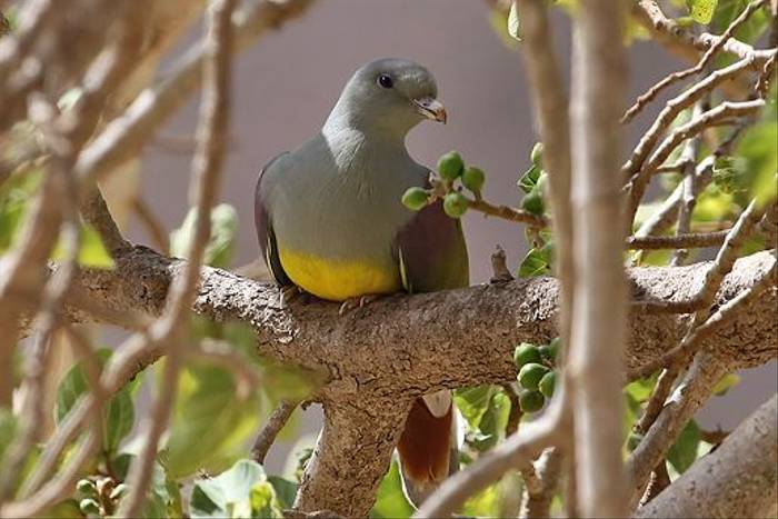 Bruce's Green Pigeon (Chris-Ward)