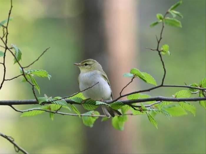 Wood Warbler (Peter Dunn)