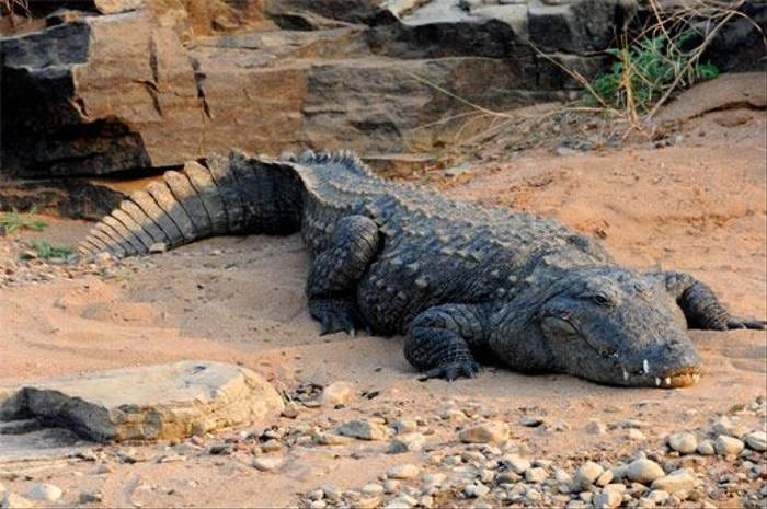 Marsh Mugger Crocodile (Peter Johnson)